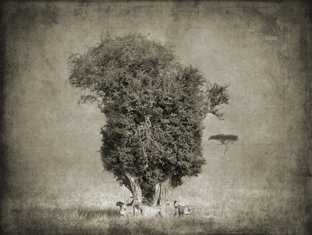 Cheetahs Under a Tree copy.jpg
