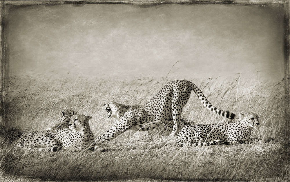 PEC_Cheetah Yawming_0992_24x36 copy.jpg