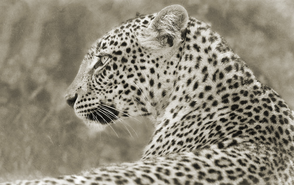 LEOPARD LOOKING BACK.jpg