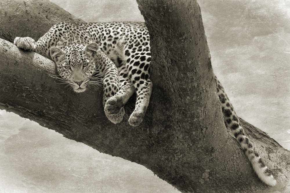 LEOPARD IN TREE.jpg