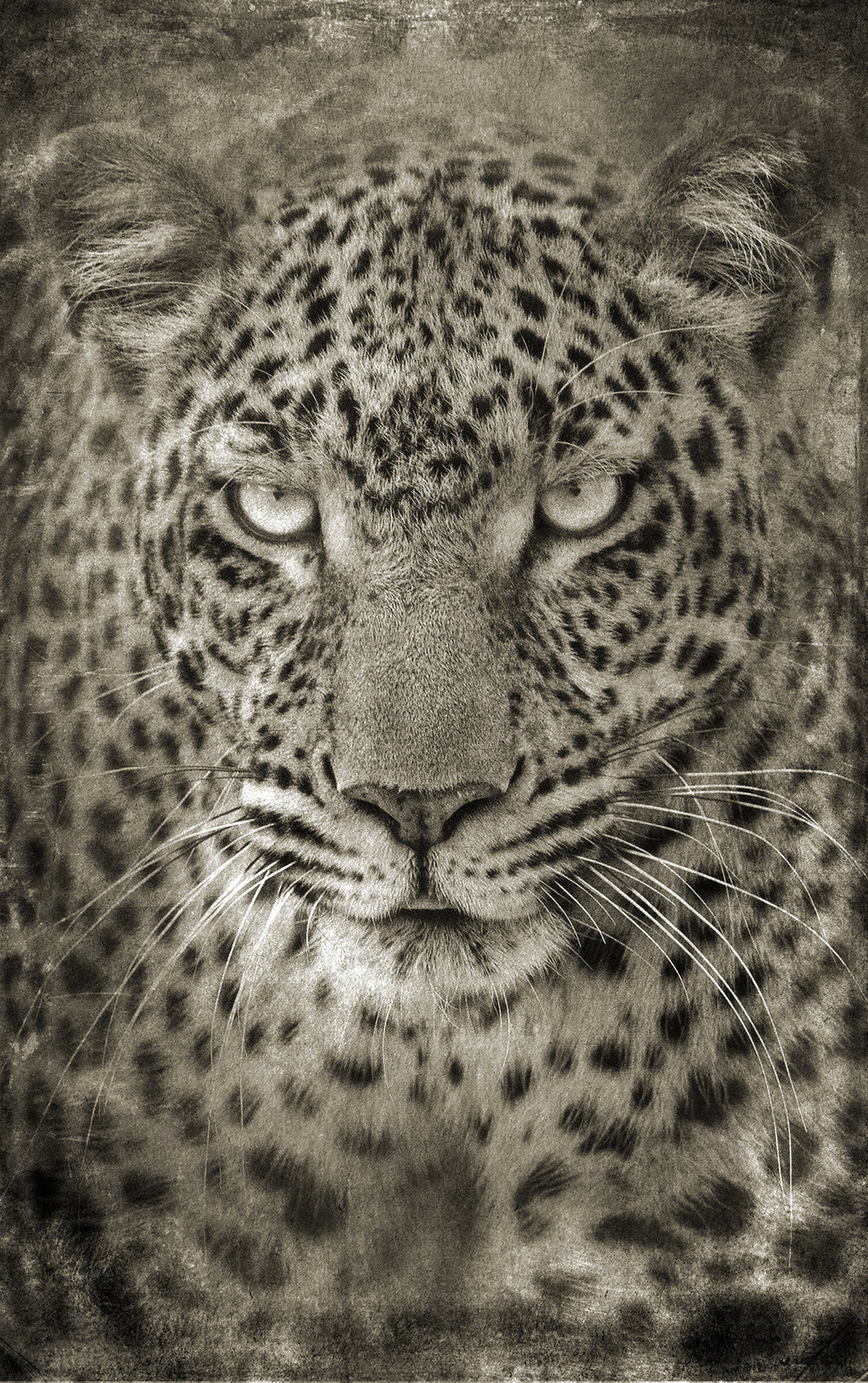 Leopard Portrait Head 2 copy.jpg