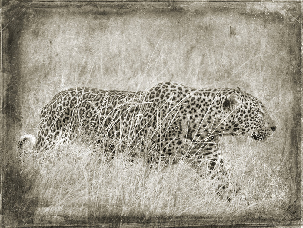 Leopard Stalking in Tall Grass copy.jpg