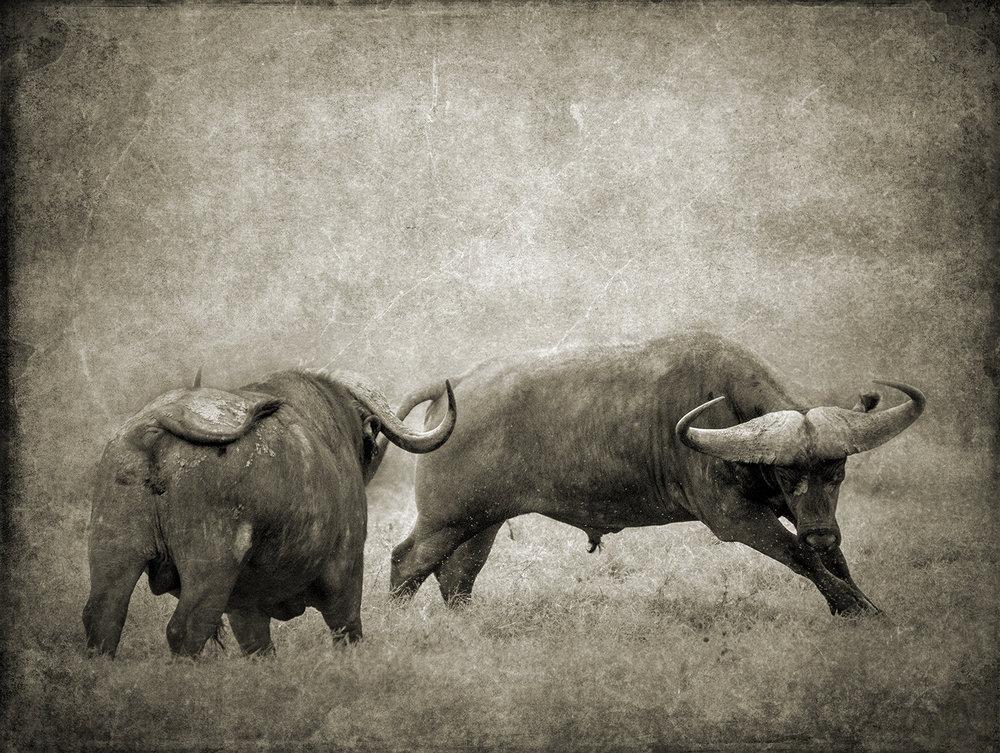 Buffalo Fight copy.jpg