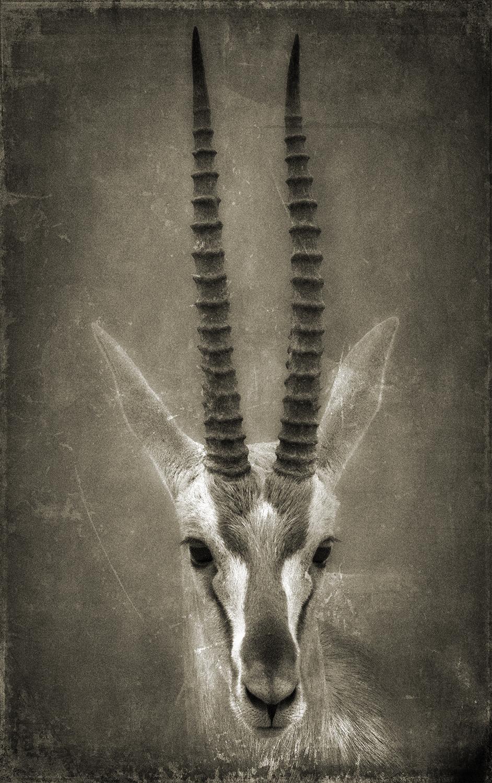 Gazelle Head copy.jpg