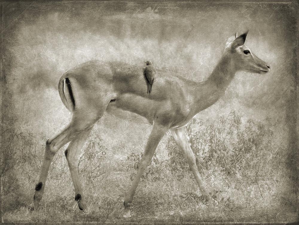 Female Impala with Bird copy.jpg