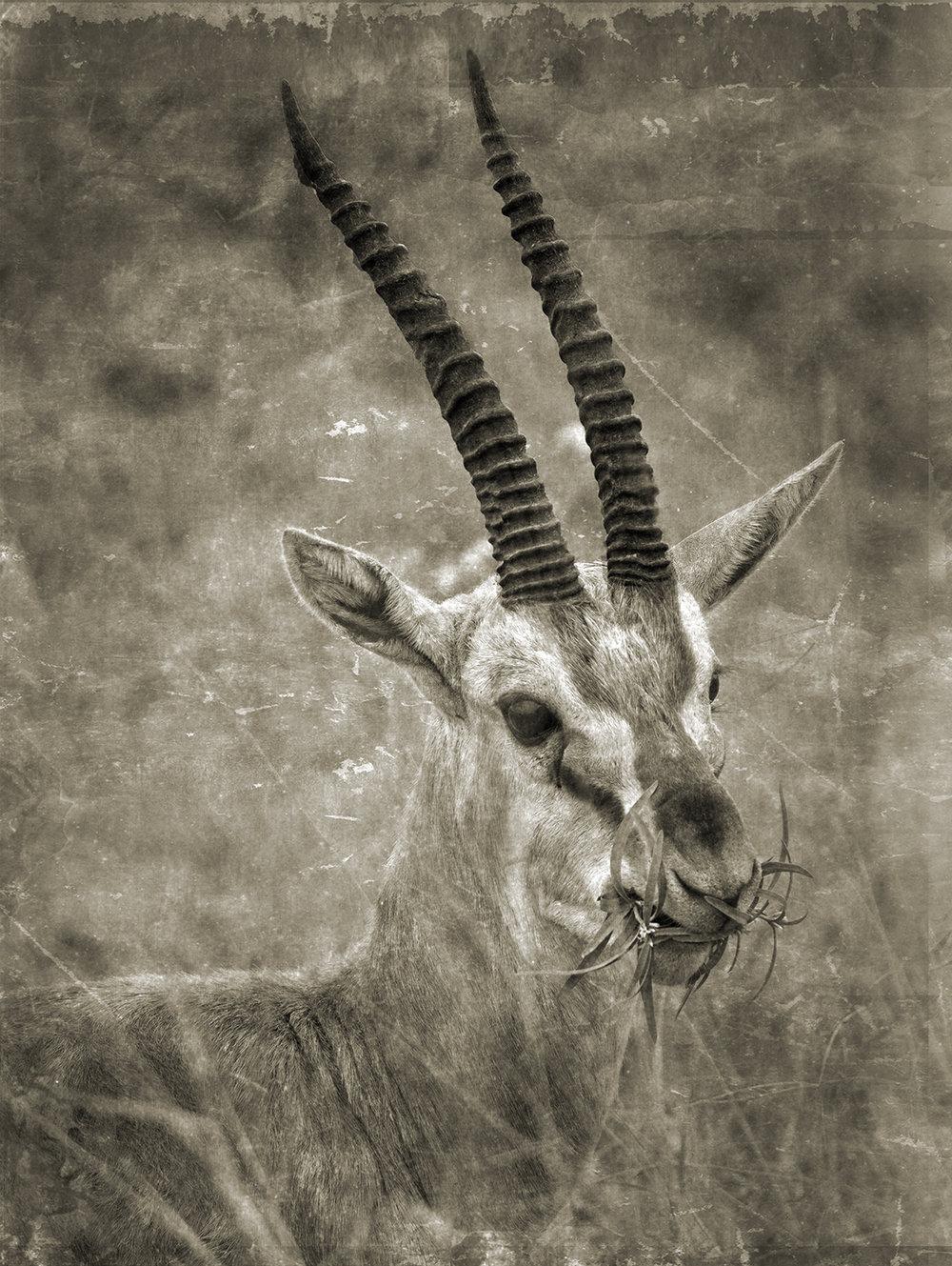 Gazelle with Food_7352 copy.jpg
