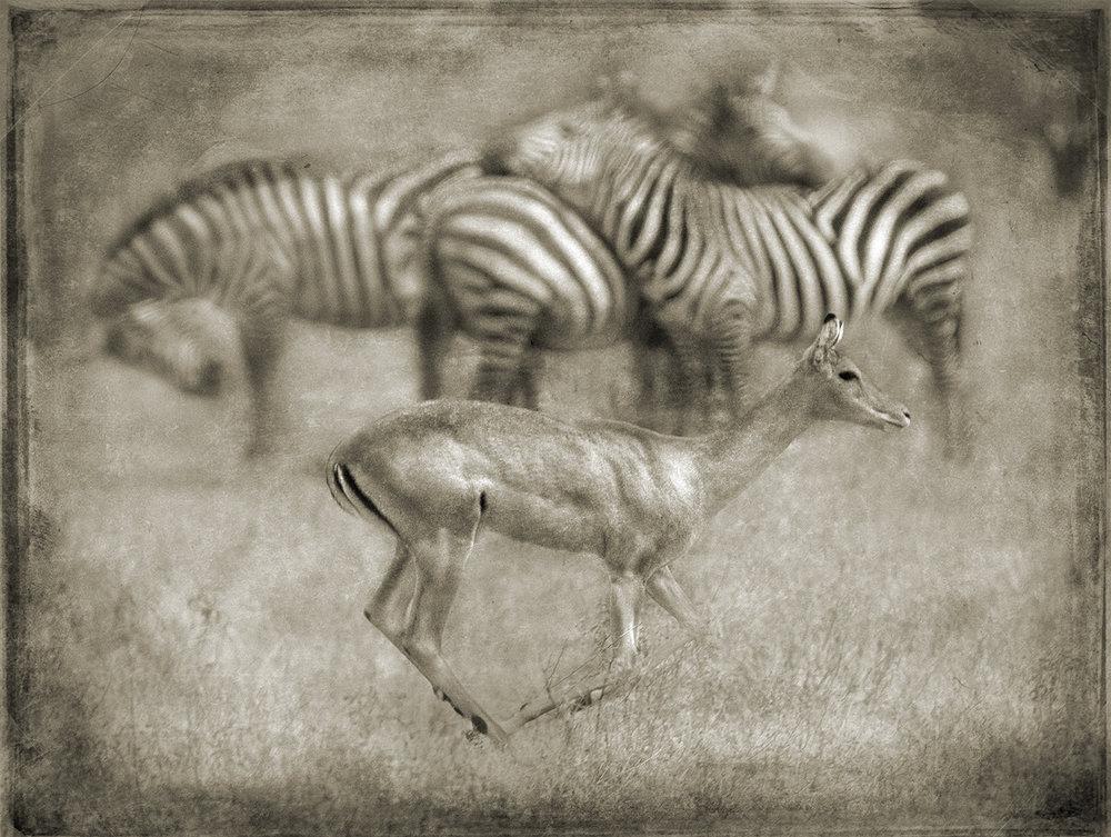 Impala Dash with Zebras copy.jpg