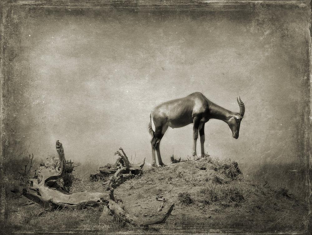 Topi on a Mound with Log copy.jpg