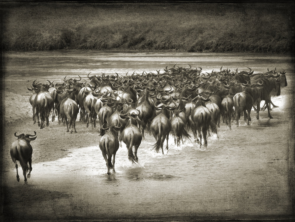 PEC_Wildebeest Migration_1905 copy.jpg