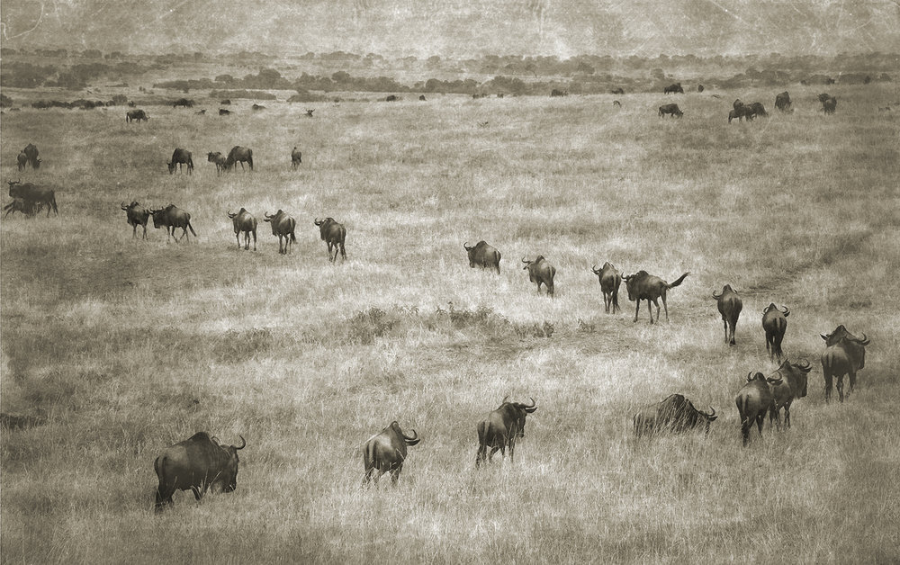 Wildebeest on Plains 1 copy.jpg