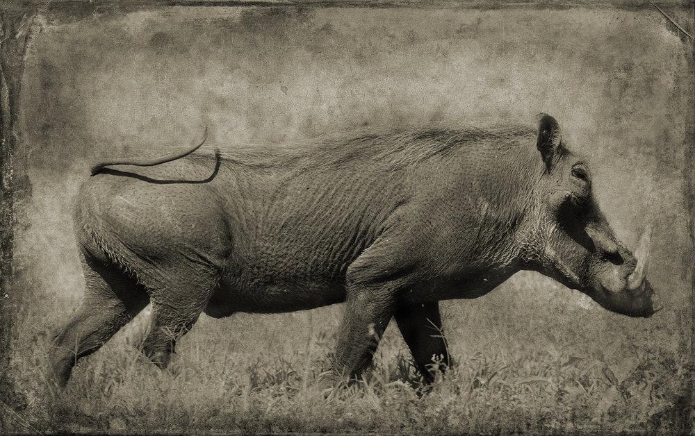 Warthog in Profile copy.jpg