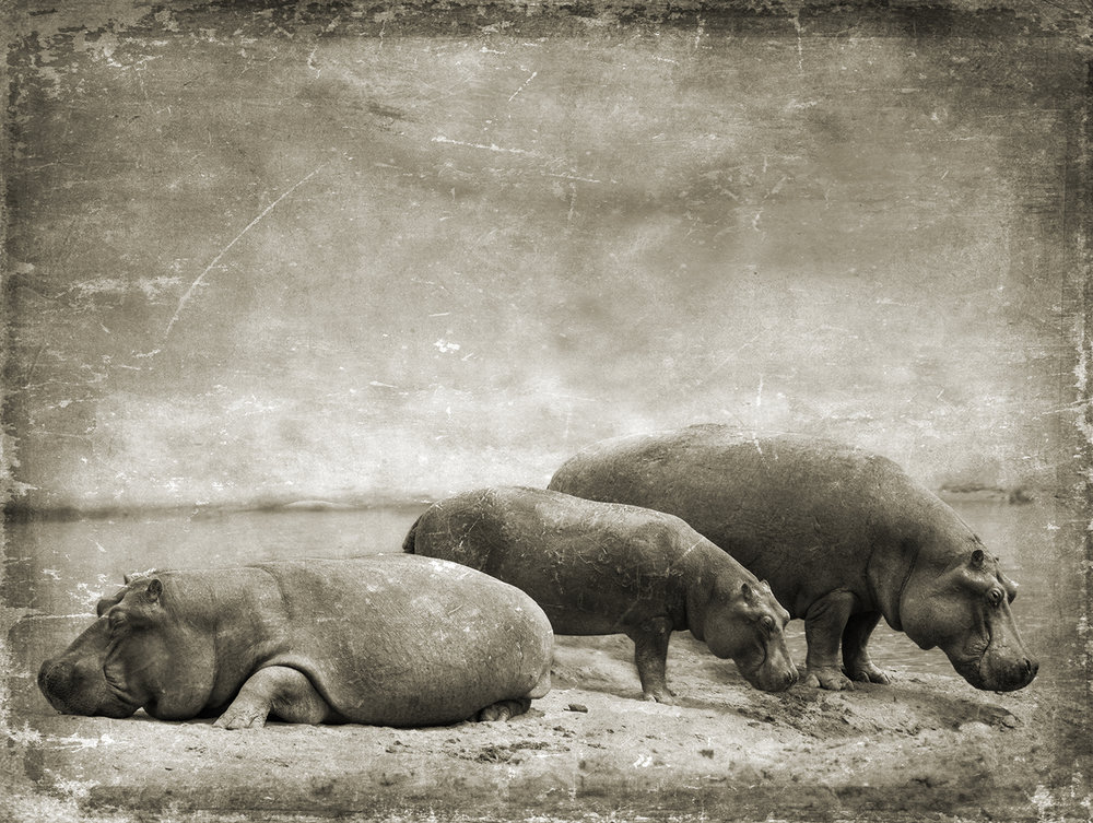 Three Hippos on a Stream Bank copy.jpg