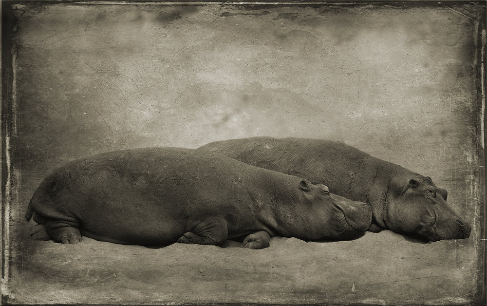 Two Hippos Cuddling copy.jpg