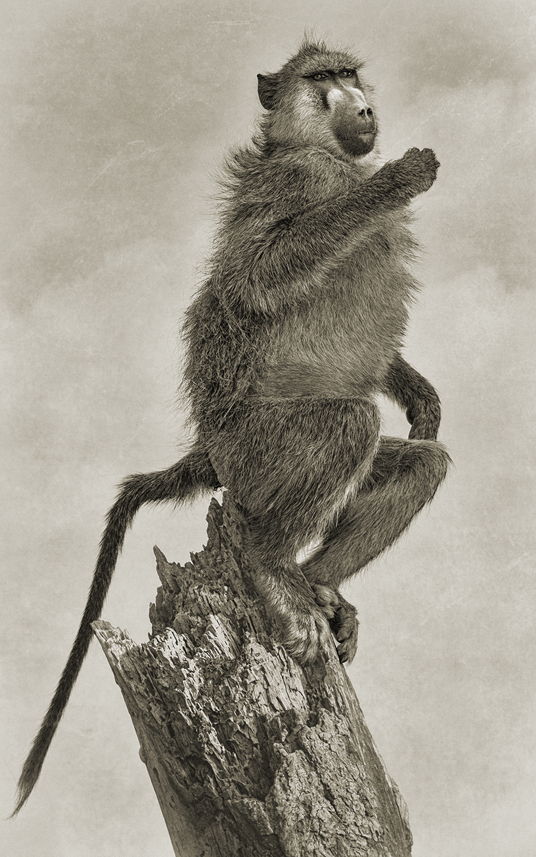 BABOON PORTRAIT ON A STUMP.jpg