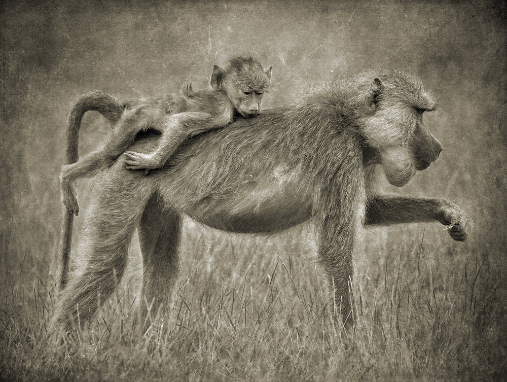 Baboon Mother with Sleeping Baby copy.jpg