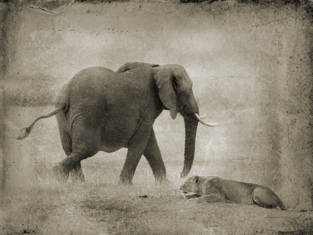 Cowering Lion with Elephant copy.jpg
