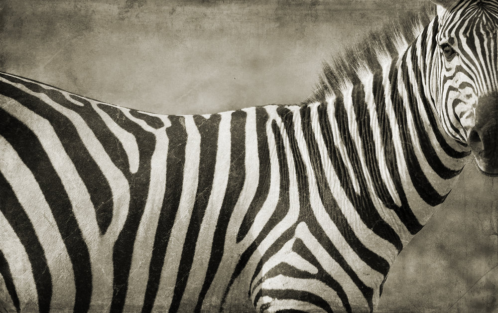 Zebra Portrait Close.jpg