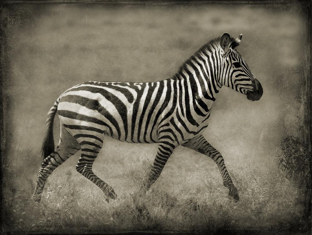 Young Zebra Prancing.jpg