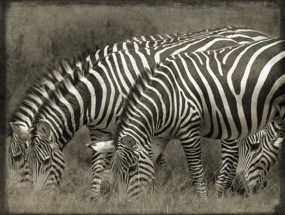 PEC_Four Zebra_8017 copy.jpg