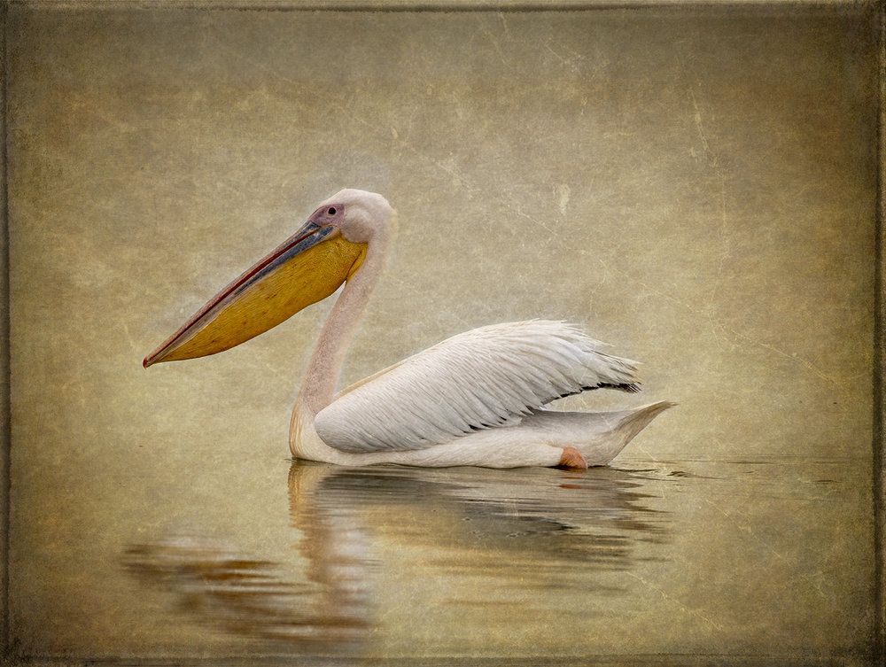 Amboseli Pelican copy.jpg