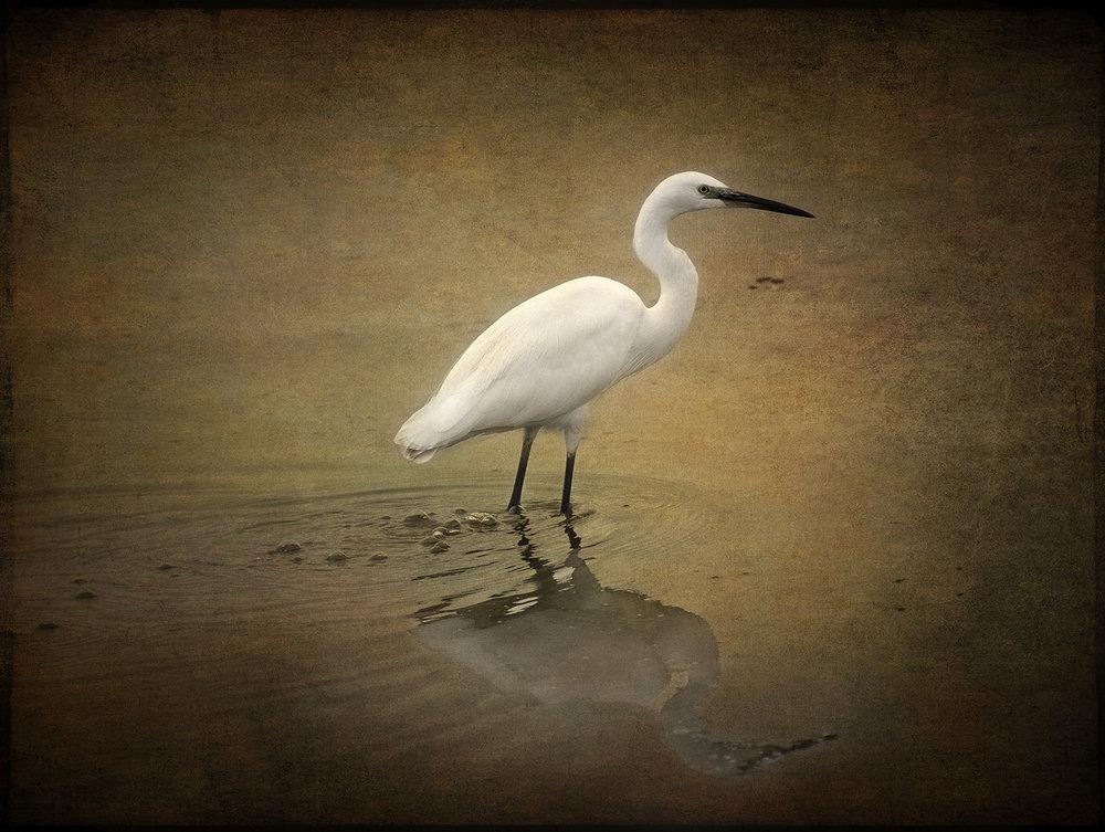 Littel Egret copy.jpg
