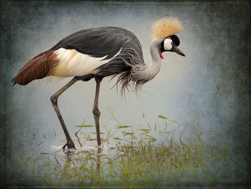PEC_Grey Crowned Crane in Water_5119 copy.jpg