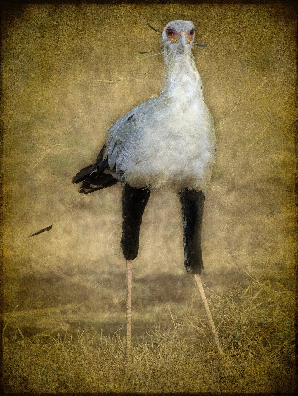 Secretary Bird Portrait  copy.jpg