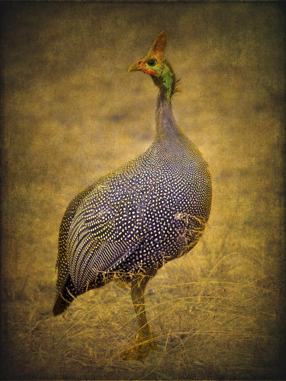 Great Speckled Bird copy.jpg
