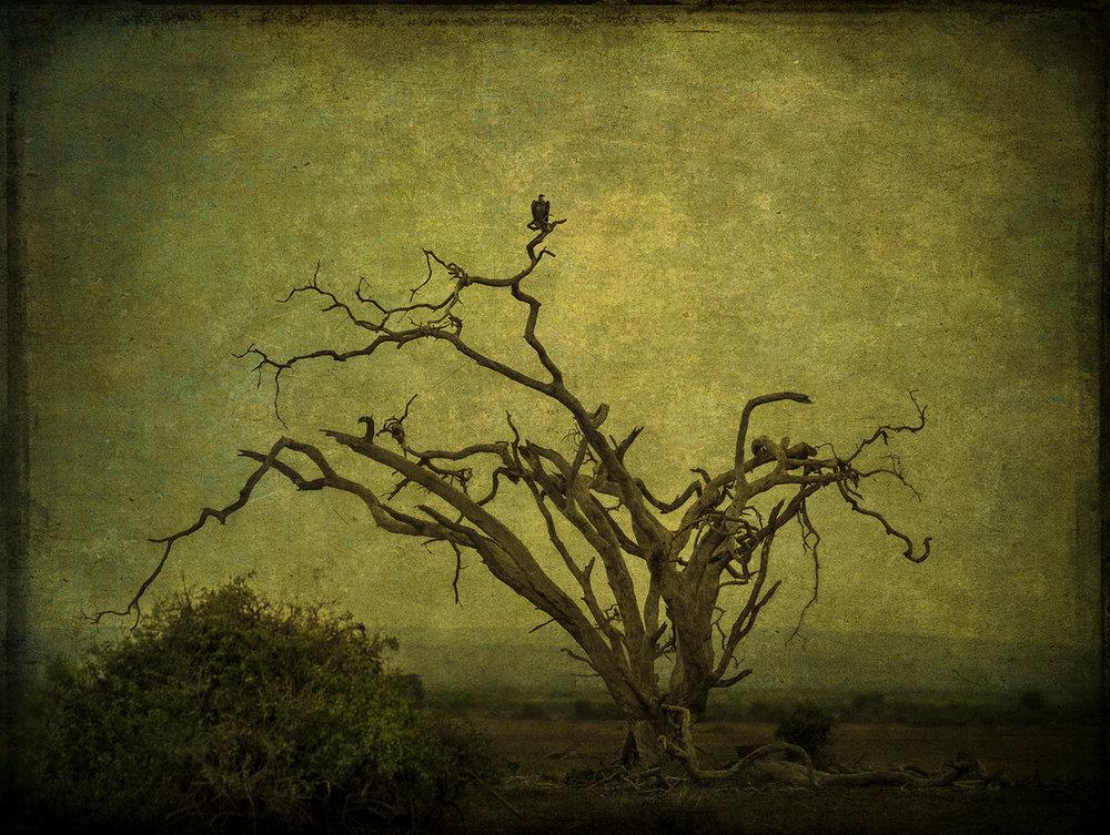 PEC_2017__2706_Vulture in Tree copy.jpg