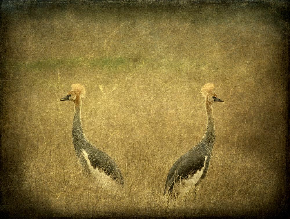 Female Pair Grey Crowned Cranes copy.jpg