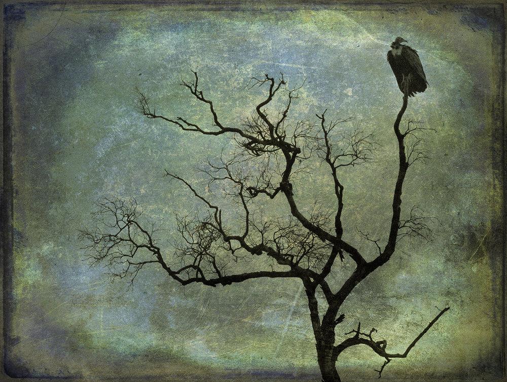 Vulture in Dead Tree 2 copy.jpg
