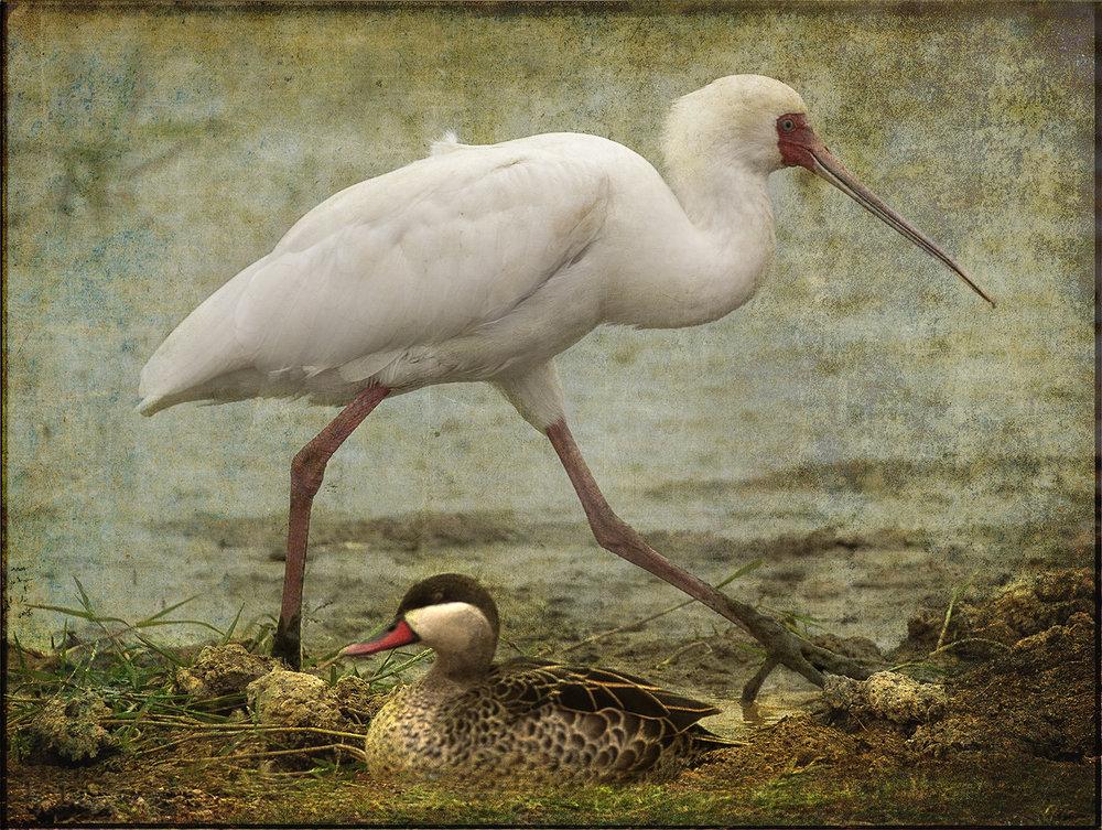 White Bird with Duck_5146 copy.jpg
