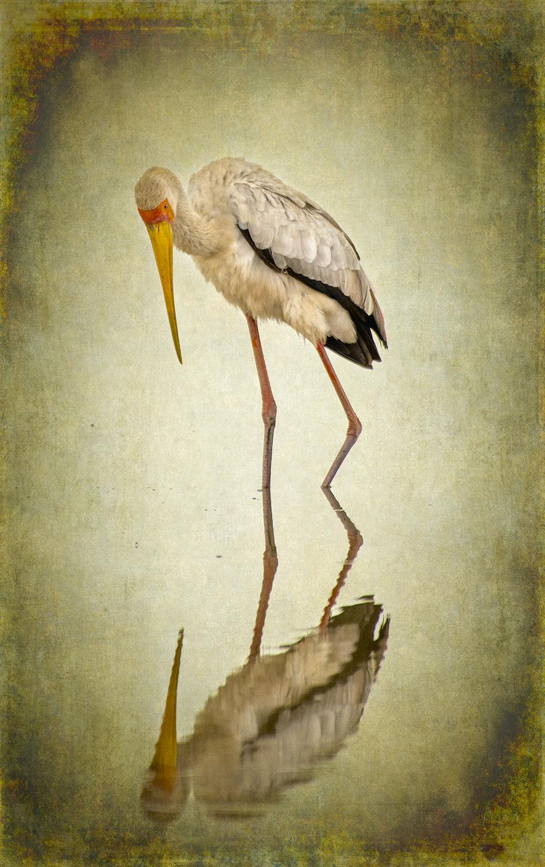 Yellow-billed Stork copy.jpg