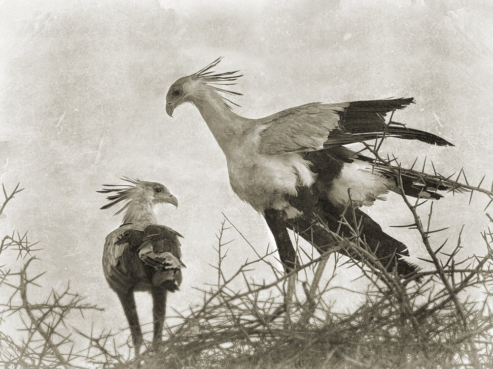 SECRETARY BIRDS.jpg