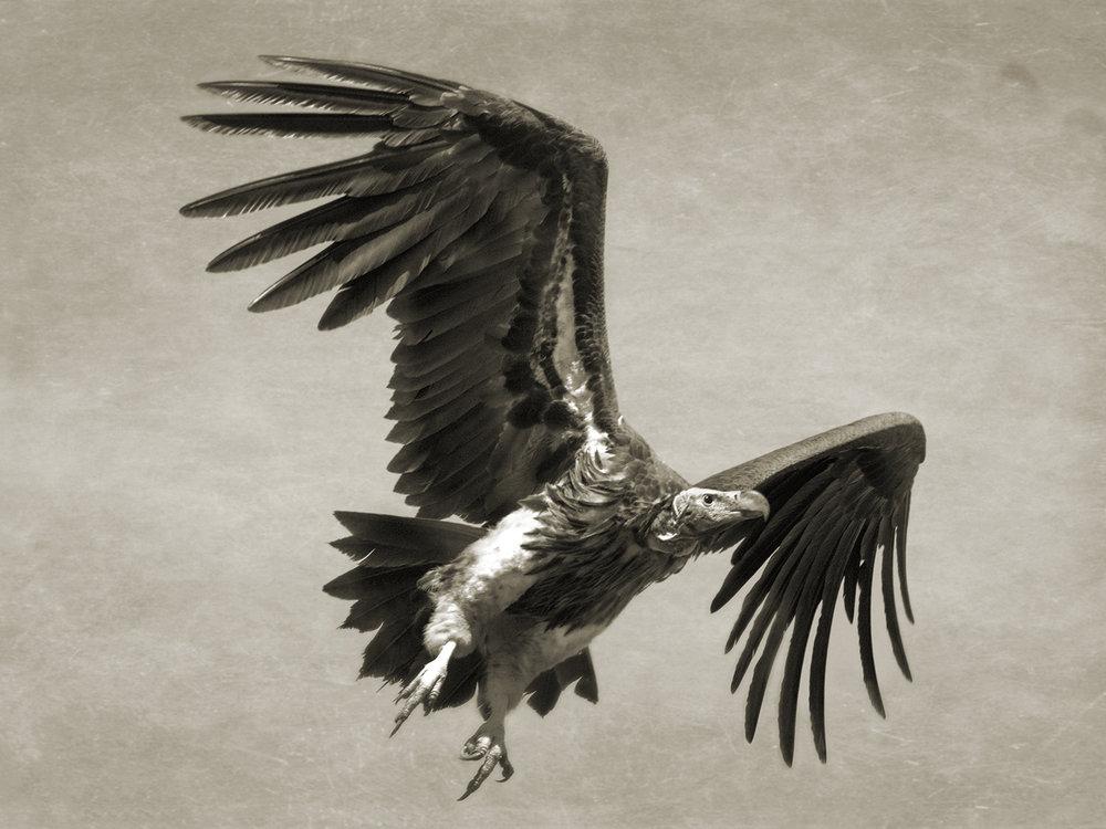 LAPPET-FACED VULTURE FLYING.jpg