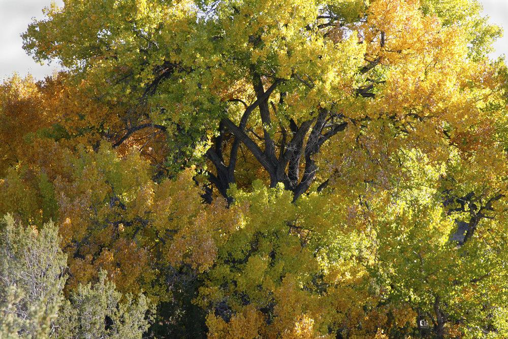 Cottonwoods-Golodrinas-Cindy.jpg