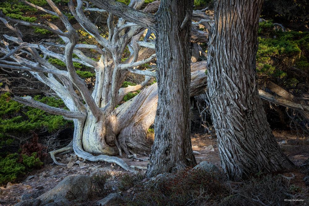 Pt Lobos Cypress Tree-2 copy.jpg