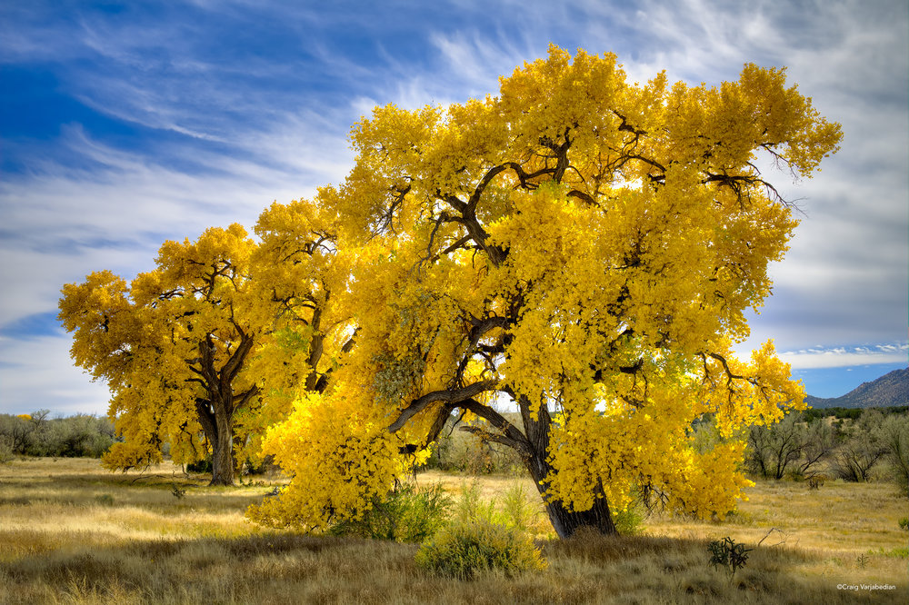 Bonanza Cottonwood.jpg