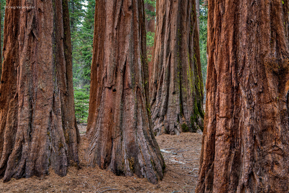 Redwoods_DSC9414 copy.jpg