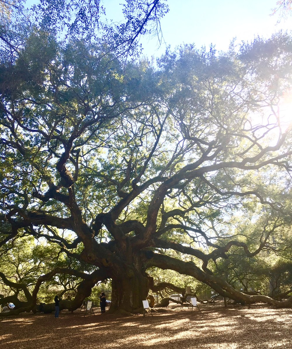 Annoying that people are in my shot, but here's the truly magnificent Angel Oak Tree on Johns Island, South Carolina. Note to self to go back early morning to get better pictures,