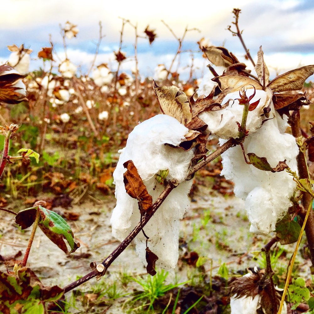 This cotton looks like me on a Monday. Barely hangin' in there, but still getting the job done.