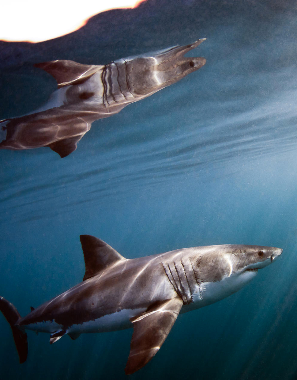 GREAT-WHITES-&-GREAT-WINES-SHARK-CAGE-DIVING-&-WINE-TASTING.jpg