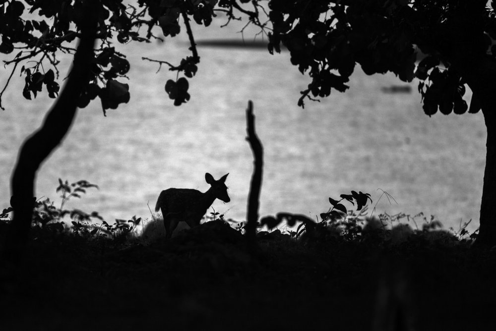 Female deer near a water body