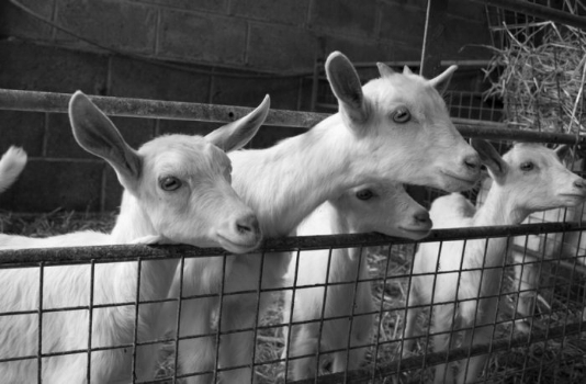 Dairy goats.jpg