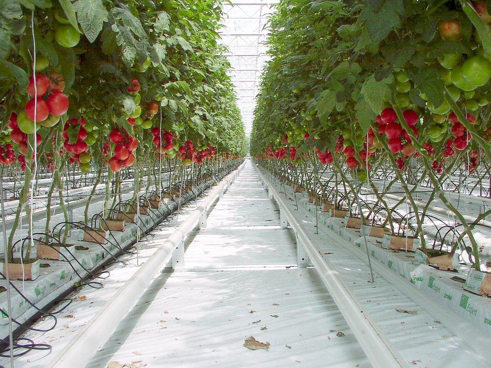 Tomato_P5260299b.jpg