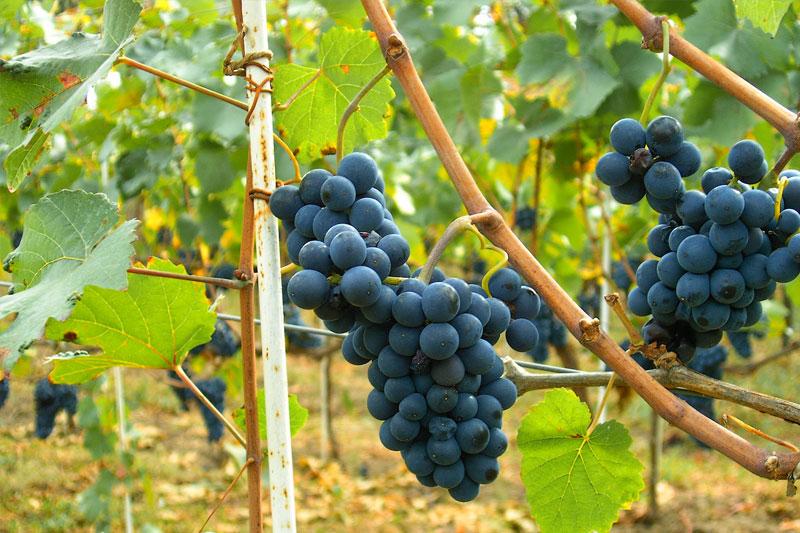 pinot-grapes.jpg