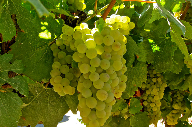 chardonnay-grapes.jpg