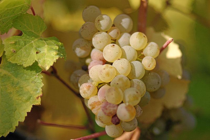 riesling-grapes.jpg