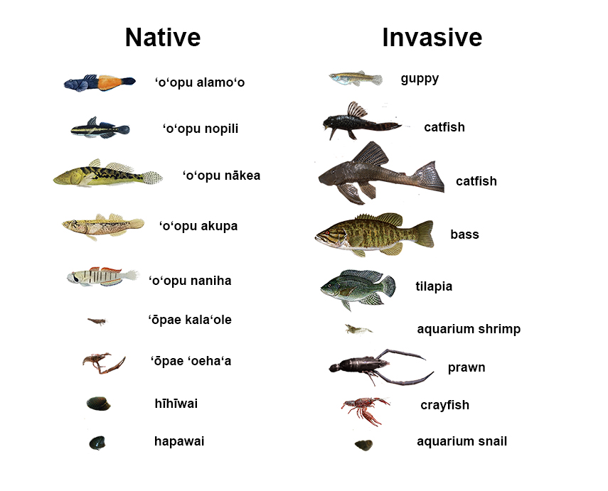 Figure 1. Native and invasive freshwater stream animals found in Hawai'i.