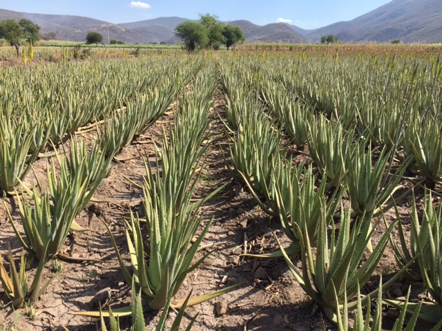 A field of Desert Harvest aloe vera plants - how stunning is that scenery?!